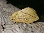 Drinker (Euthrix potatoria)